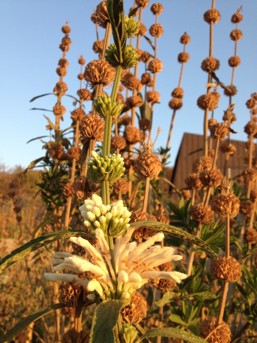 Leonotis at Freedom Park